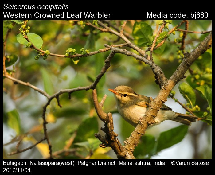 Seicercus occipitalis - Western Crowned Leaf Warbler ...  Seicercus occip...