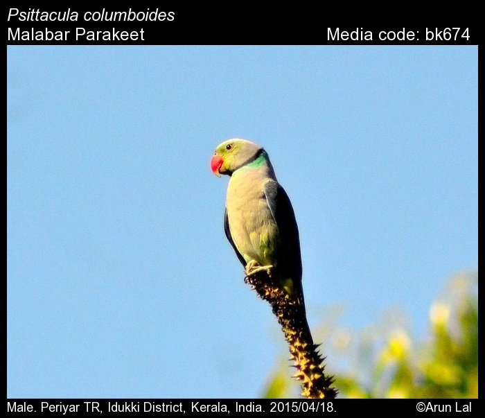 Psittacula columboides - Malabar Parakeet - Birds of India