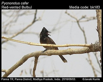Pycnonotus cafer - Red-vented Bulbul