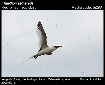 Phaethon aethereus - Red-billed Tropicbird