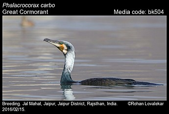 Phalacrocorax carbo - Great Cormorant