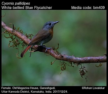 Cyornis pallidipes - White-bellied Blue Flycatcher