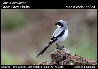Lanius excubitor - Great Grey Shrike