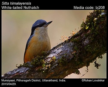 Sitta himalayensis - White-tailed Nuthatch