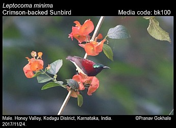 Leptocoma minima - Crimson-backed Sunbird