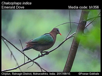 Chalcophaps indica - Asian Emerald Dove