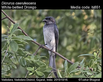 Dicrurus caerulescens - White-bellied Drongo