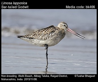 Limosa lapponica - Bar-tailed Godwit
