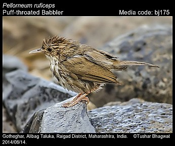 Pellorneum ruficeps - Puff-throated Babbler