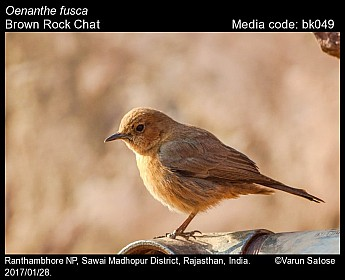 Oenanthe fusca - Brown Rock Chat