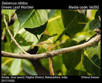 Seicercus nitidus - Green Leaf Warbler