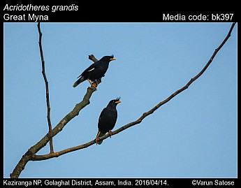 Acridotheres grandis - Great Myna