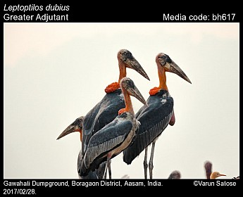 Leptoptilos dubius - Greater Adjutant