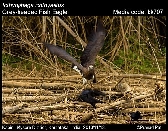 Icthyophaga ichthyaetus - Grey-headed Fish Eagle