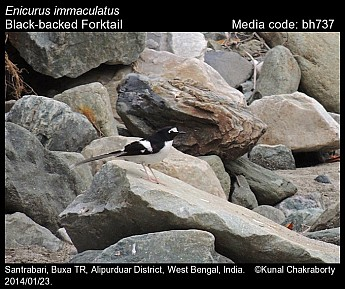 Enicurus immaculatus - Black-backed Forktail