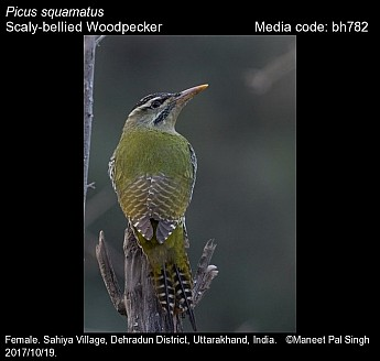 Picus squamatus - Scaly-bellied Woodpecker