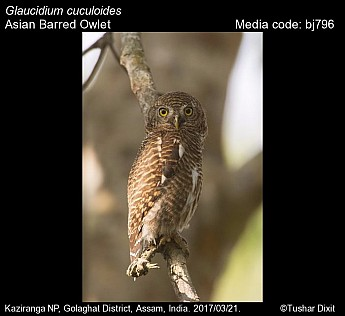 Glaucidium cuculoides - Asian Barred Owlet