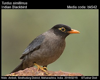 Turdus simillimus - Indian Blackbird