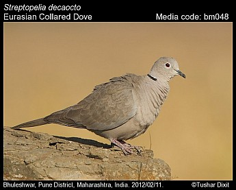 Streptopelia decaocto