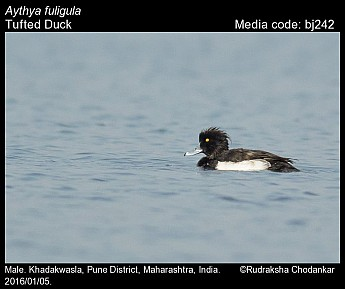 Aythya fuligula - Tufted Duck
