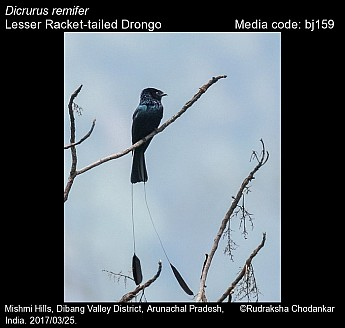 Dicrurus remifer - Lesser Racket-tailed Drongo