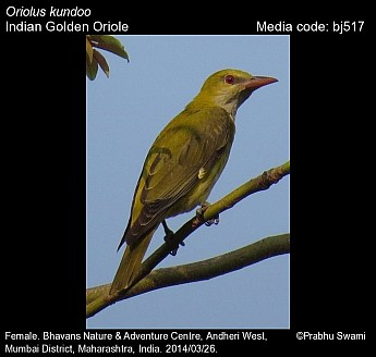 Oriolus kundoo - Indian Golden Oriole