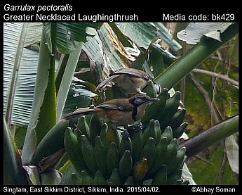 Garrulax pectoralis - Greater Necklaced Laughingthrush