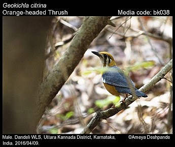 Geokichla citrina - Orange-headed Thrush