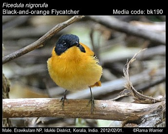 Ficedula nigrorufa - Black-and-orange Flycatcher