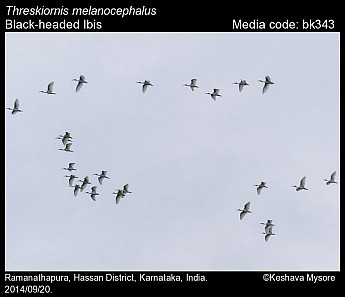 Threskiornis melanocephalus - Black-headed Ibis