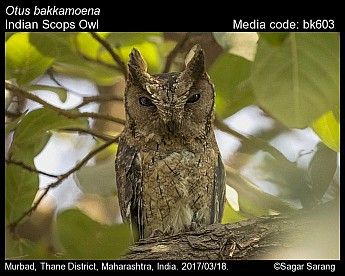 Otus bakkamoena - Indian Scops Owl