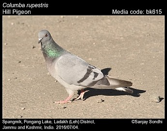 Columba rupestris