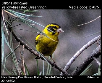 Chloris spinoides - Yellow-breasted Greenfinch