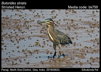 Butorides striata - Striated Heron