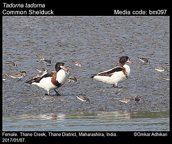 Tadorna tadorna - Common Shelduck