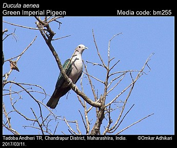 Ducula aenea - Green Imperial Pigeon