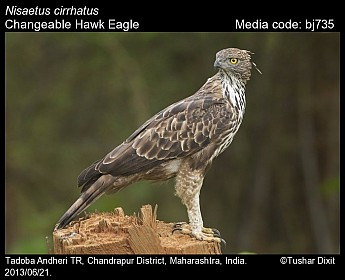 Nisaetus cirrhatus - Changeable Hawk Eagle