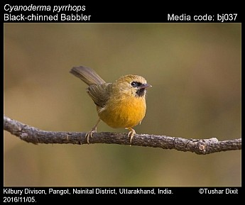 Cyanoderma pyrrhops - Black-chinned Babbler