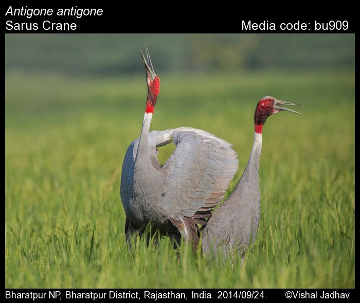 Antigone antigone - Sarus Crane - Birds of India