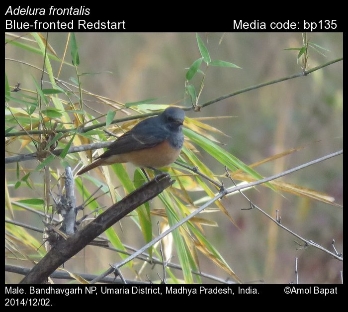 Phoenicurus Frontalis Blue Fronted Redstart Birds Of India