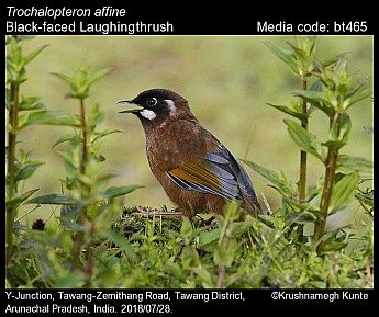 Trochalopteron affine - Black-faced Laughingthrush