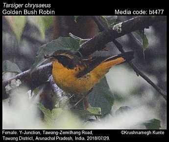 Tarsiger chrysaeus - Golden Bush Robin