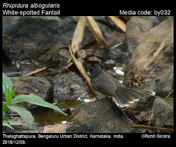Rhipidura albicollis - White-throated Fantail