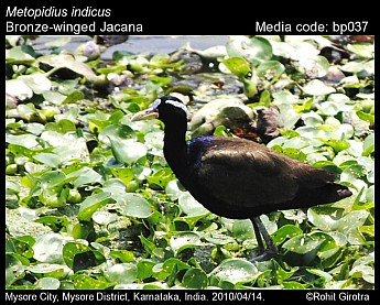 Metopidius indicus - Bronze-winged Jacana