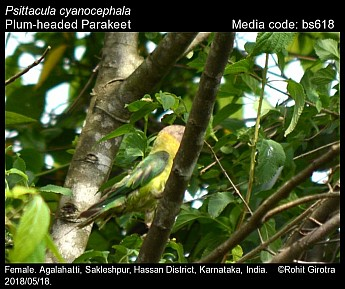 Psittacula cyanocephala - Plum-headed Parakeet