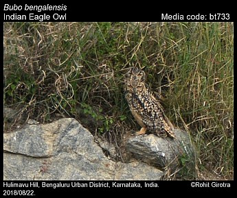 Bubo bengalensis - Indian Eagle Owl