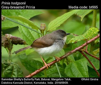 Prinia hodgsonii - Grey-breasted Prinia