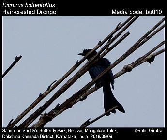 Dicrurus hottentottus - Hair-crested Drongo