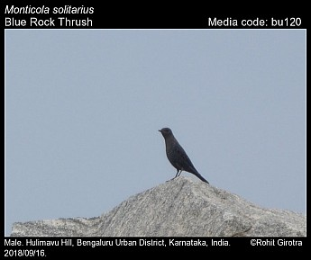 Monticola solitarius - Blue Rock Thrush