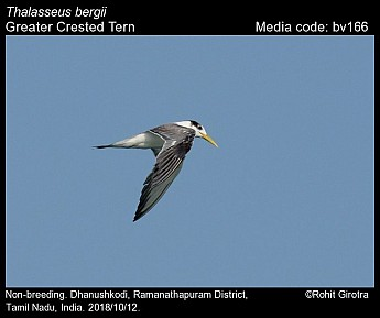 Thalasseus bergii - Greater Crested Tern